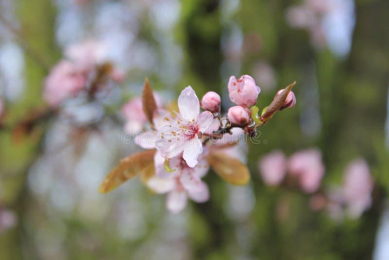 Flor de cerejeira nas folhas verdes frescas fotos de stock royalty free
