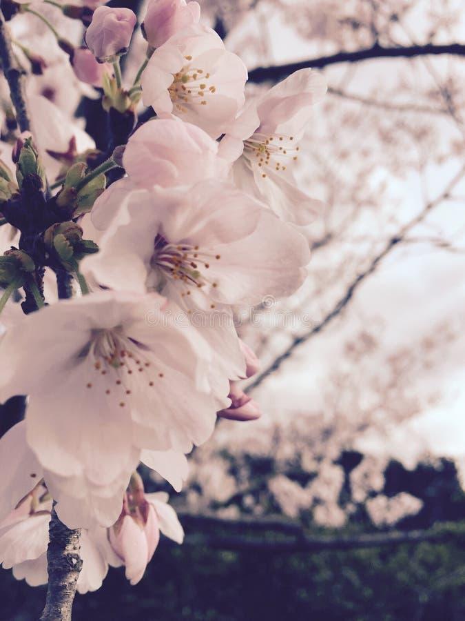Flor de cerejeira no outono imagem de stock