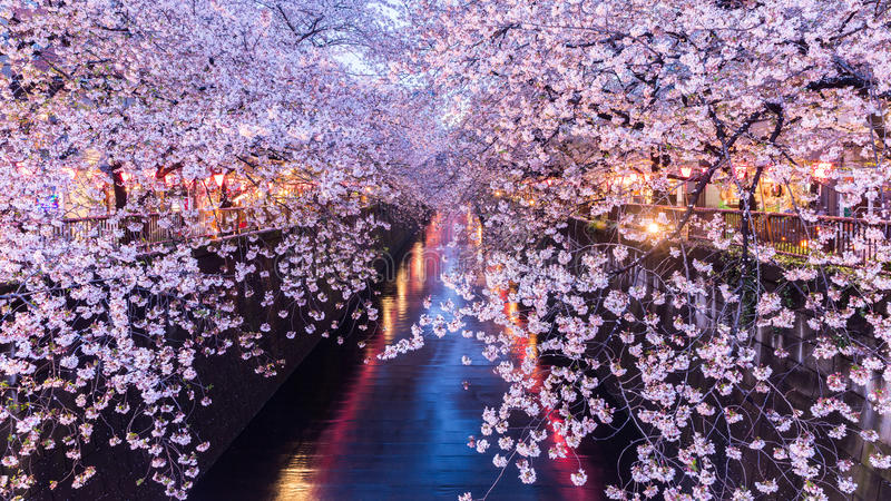 Flor de cerejeira ou Sakura no canal de Meguro imagem de stock royalty free