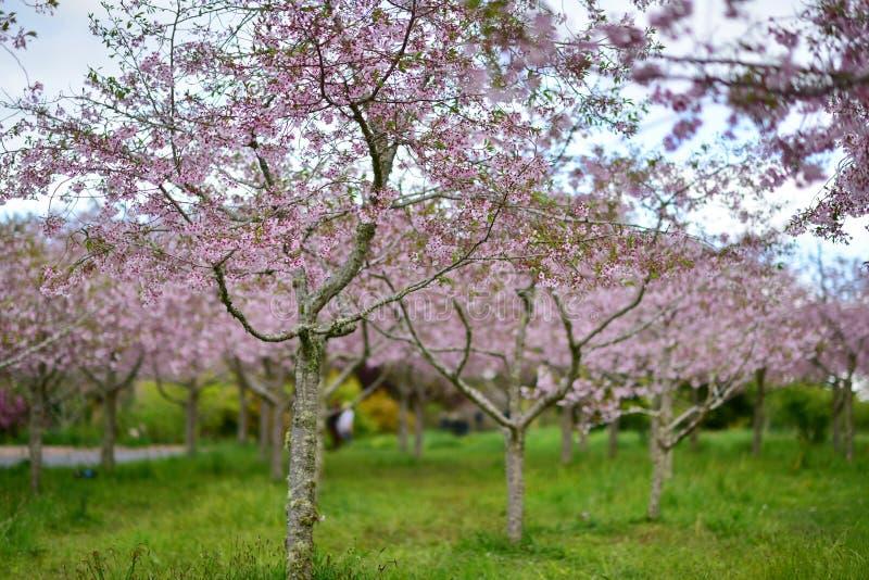 Flor de cerejeira de Sakura em jardins botânicos de Auckland fotos de stock royalty free