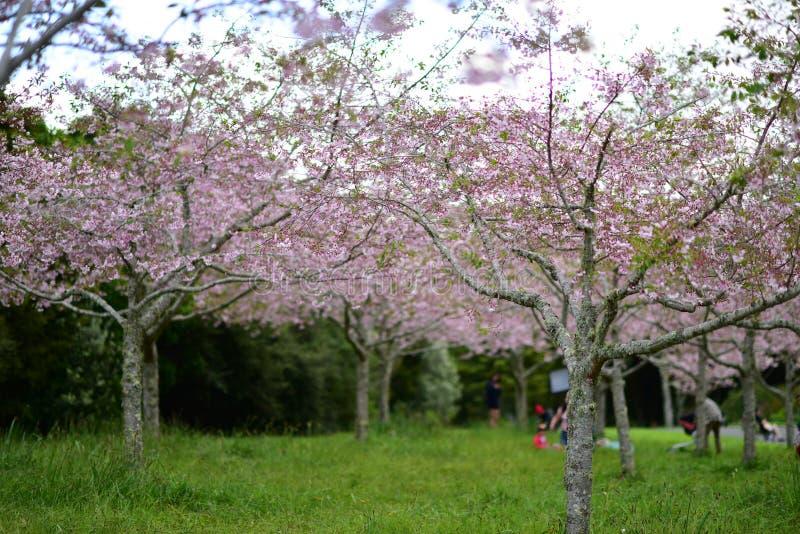 Flor de cerejeira de Sakura em jardins botânicos de Auckland imagens de stock royalty free