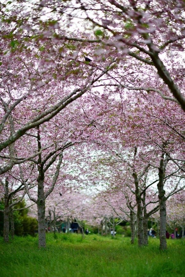 Flor de cerejeira de Sakura em jardins botânicos de Auckland foto de stock