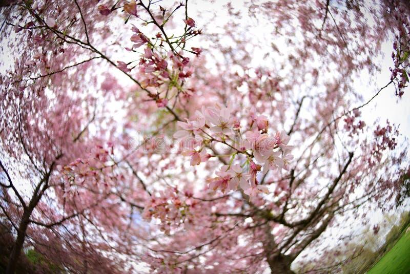 Flor de cerejeira de Sakura em um jardim em Hamilton imagens de stock