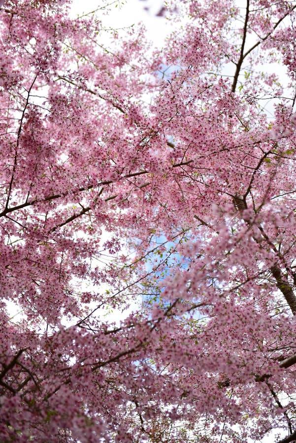 Flor de cerejeira de Sakura em um jardim em Hamilton imagem de stock royalty free