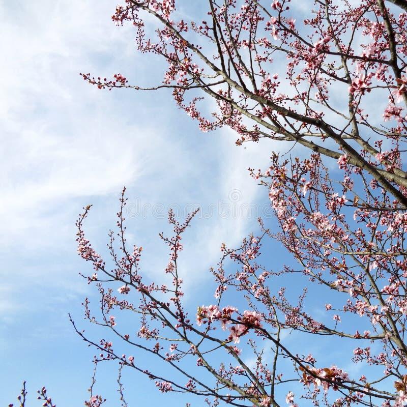 Flor de cerejeira - serrulata do Prunus foto de stock royalty free