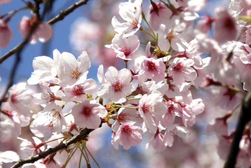 Flor de cereza foto de archivo libre de regalías