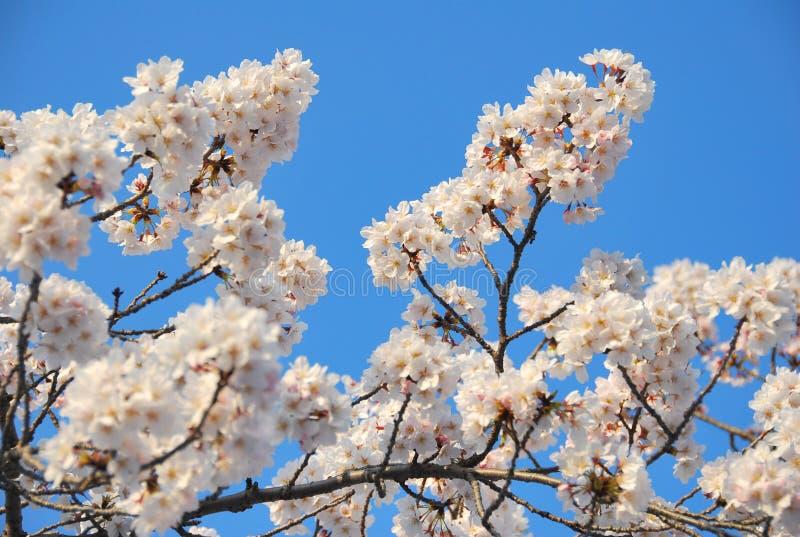 Download Flor de cereza imagen de archivo. Imagen de cereza, flor - 7282877