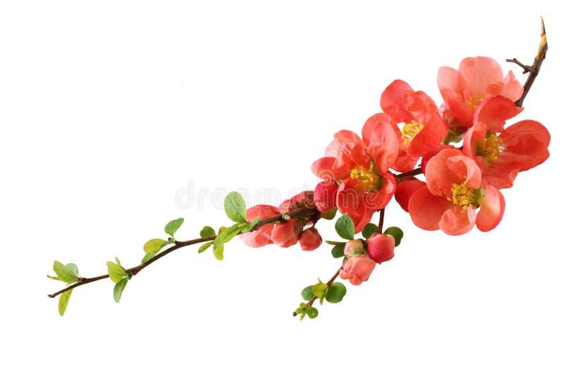 Flor de cereza anaranjado fotos de archivo