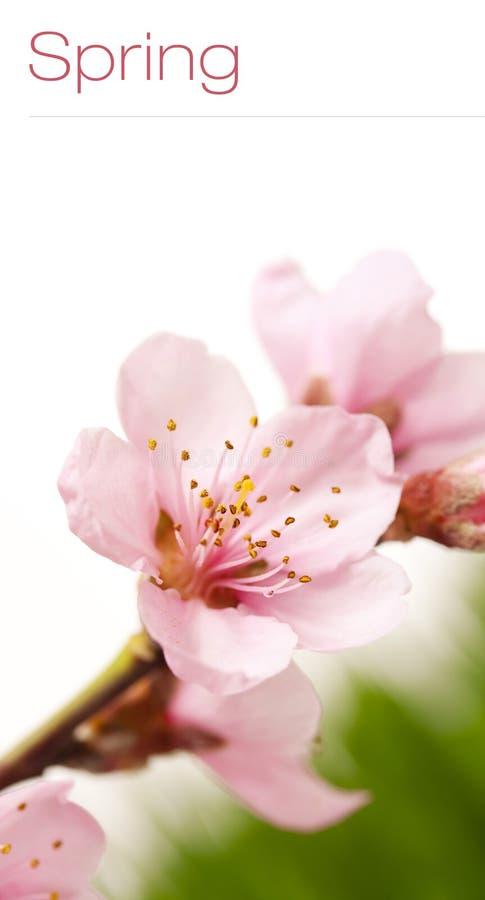 Flor de cereza del resorte fotos de archivo