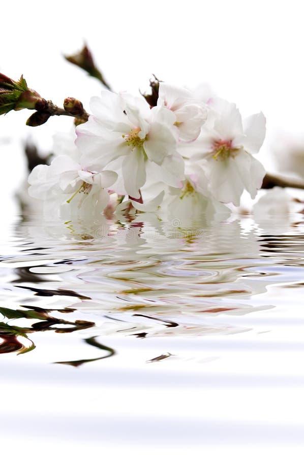 Flor de cereza en agua fotos de archivo libres de regalías