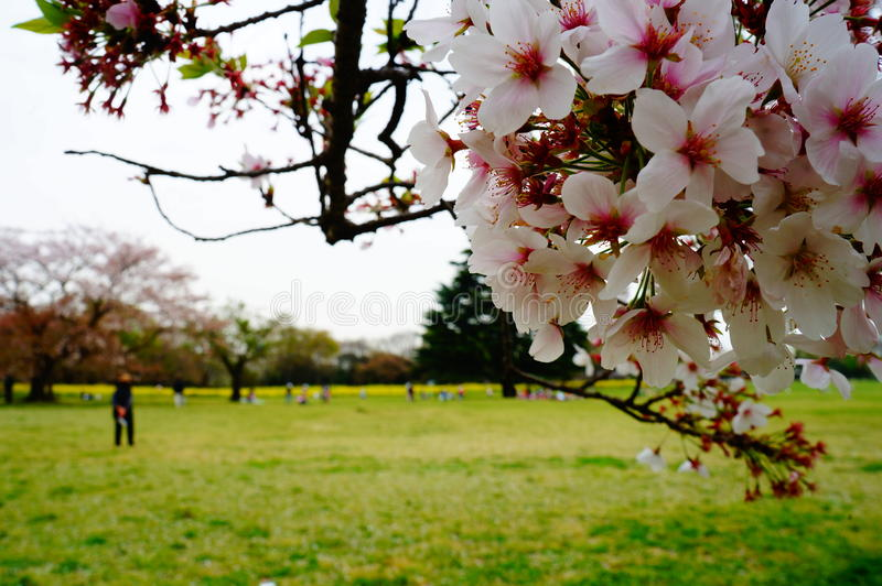 Flor de cereza en Japón imagenes de archivo