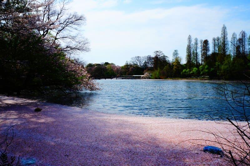 Flor de cereza en Japón fotos de archivo libres de regalías