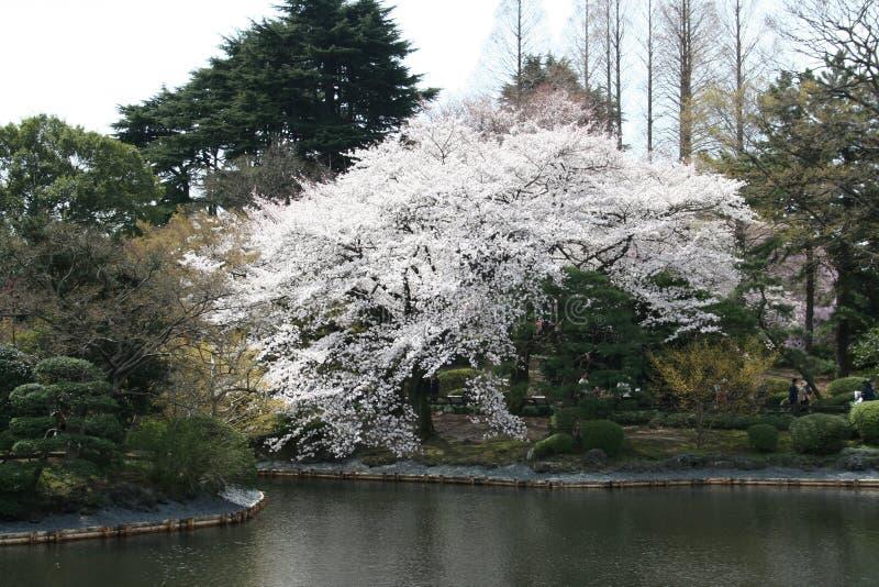 Flor de cereza japonés de Sakura en el lago imágenes de archivo libres de regalías