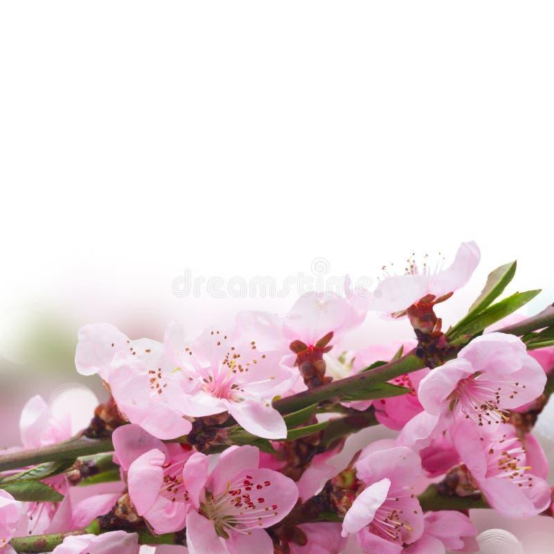 Download Flor de cereza rosado foto de archivo. Imagen de día - 100527678