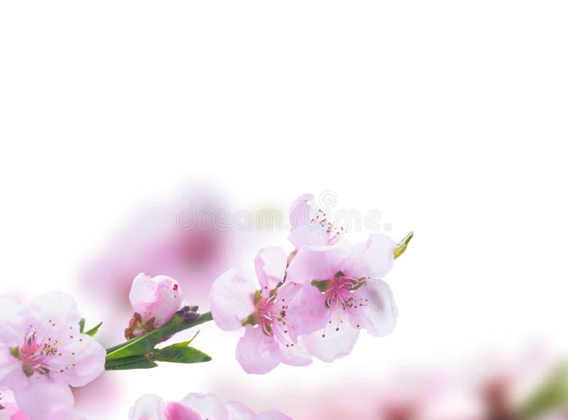 Download Flor de cereza rosado imagen de archivo. Imagen de cereza - 100527763