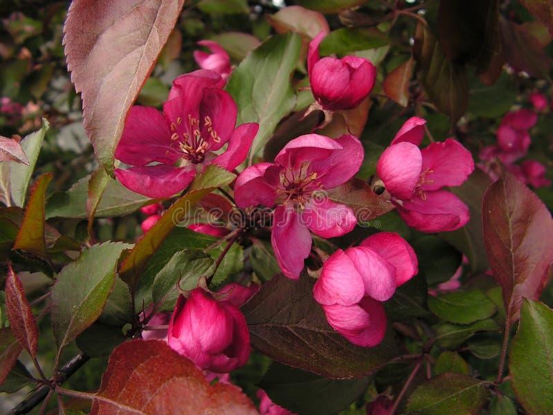 Flor de cereza: sakura imágenes de archivo libres de regalías