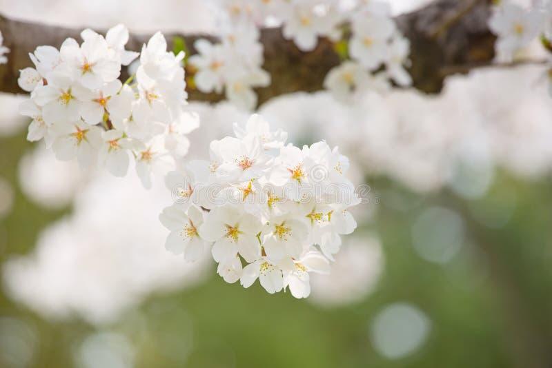 Flor de cerezo fotografía de archivo