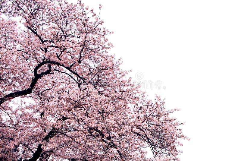 Flor de cerezo aislada árbol de la flor de Sakura de la plena floración imágenes de archivo libres de regalías
