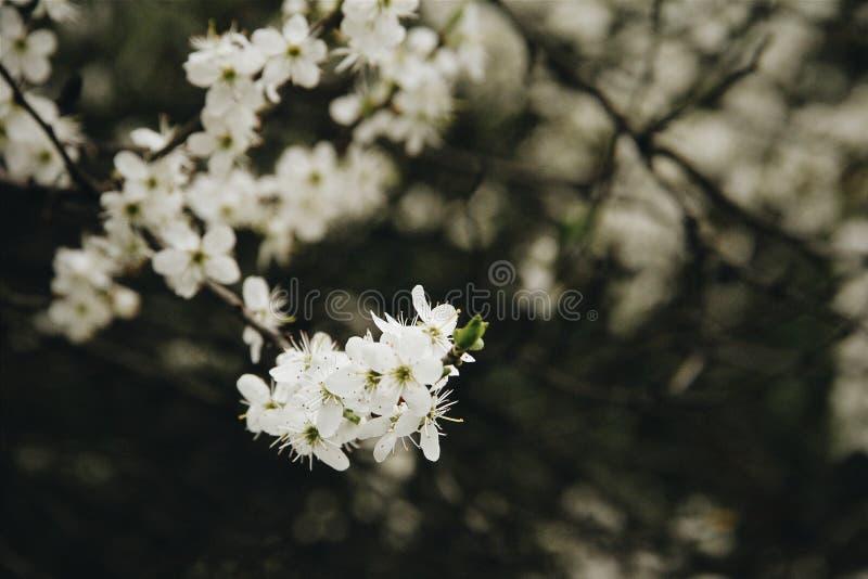 Flor de cerezo al aire libre fotografía de archivo