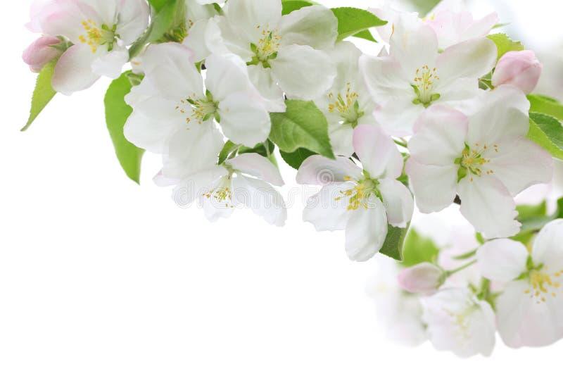 Flor de cerezo de la primavera foto de archivo libre de regalías
