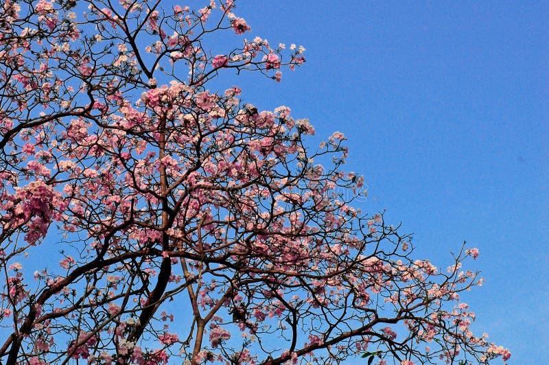 Flor de cerezo del rosa de Sakura de la plena floración con el cielo azul imagen de archivo libre de regalías