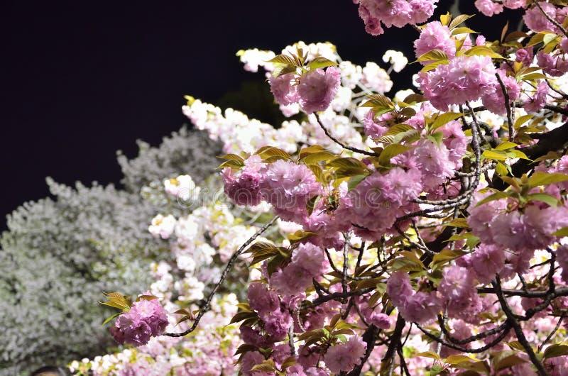 Flor de cerezo en la noche, Osaka Japan imagen de archivo