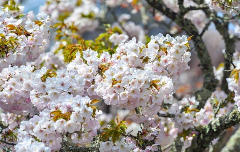 Flor de cerezo en Yoshino Park, Jap?n imagen de archivo libre de regalías
