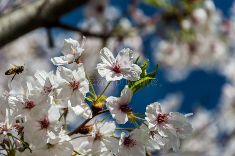 Flor de cerezo, EUR, Roma imágenes de archivo libres de regalías