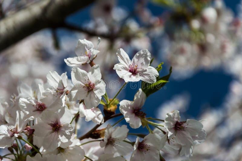Flor de cerezo, EUR, Roma fotografía de archivo