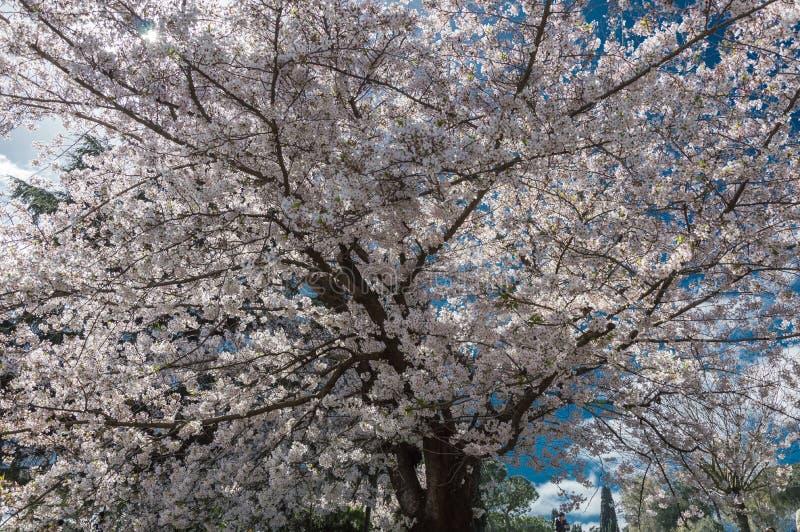 Flor de cerezo, EUR, Roma foto de archivo libre de regalías
