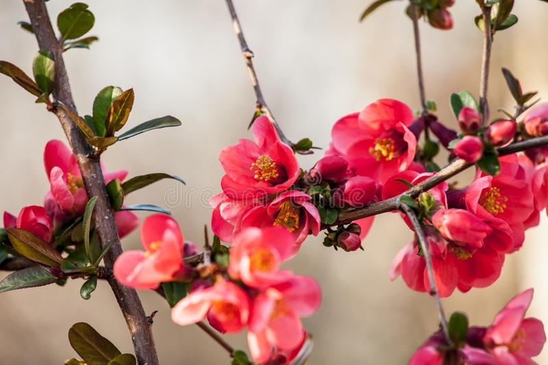 Flor de cerezo floreciente en mayo foto de archivo libre de regalías