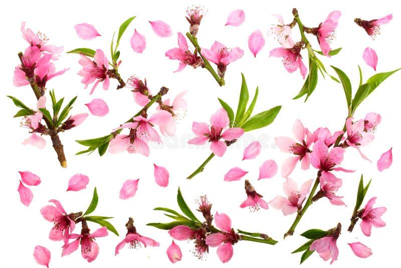 Flor de cerezo, flores de Sakura aisladas en el fondo blanco Visión superior Modelo plano de la endecha libre illustration