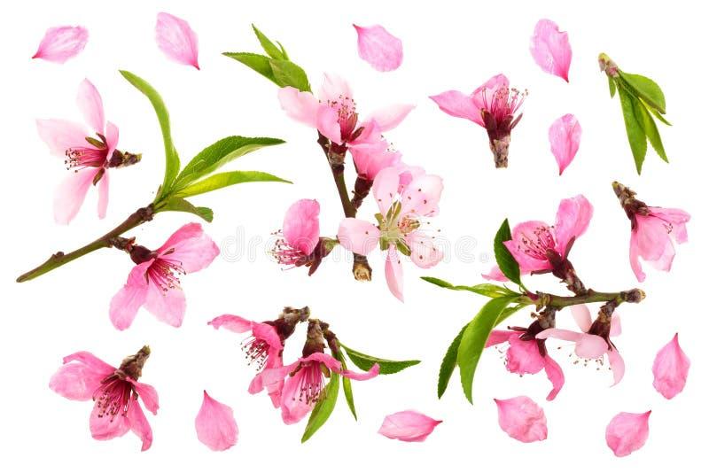 Flor de cerezo, flores de Sakura aisladas en el fondo blanco Visión superior Modelo plano de la endecha stock de ilustración