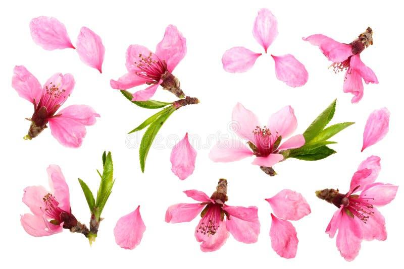 Flor de cerezo, flores de Sakura aisladas en el fondo blanco Visión superior Modelo plano de la endecha ilustración del vector