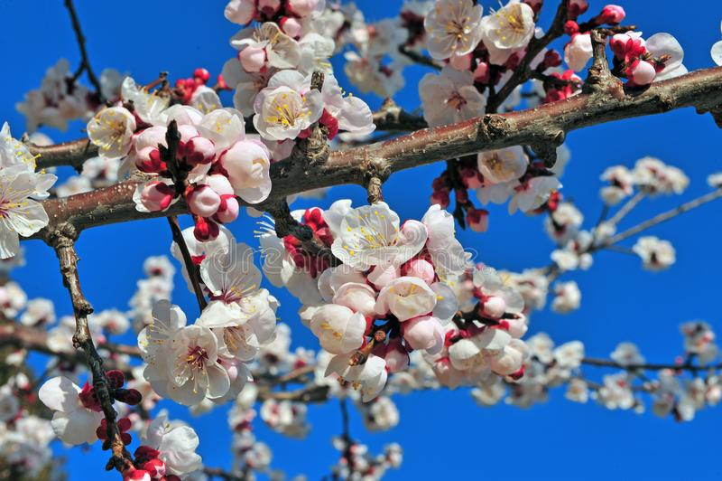 Flor de cerezo hermosa fotos de archivo