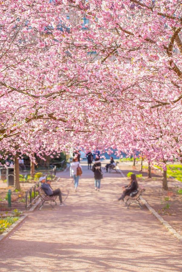 Flor de cerezo hermosa en un d?a de primavera soleado fotografía de archivo