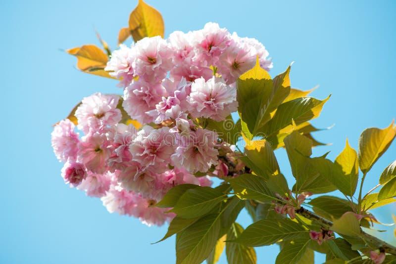 Flor de cerezo hermosa, flor rosada de Sakura en fondo de la naturaleza imágenes de archivo libres de regalías