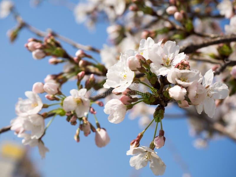 Flor de cerezo hermosa Sakura en tiempo de primavera foto de archivo