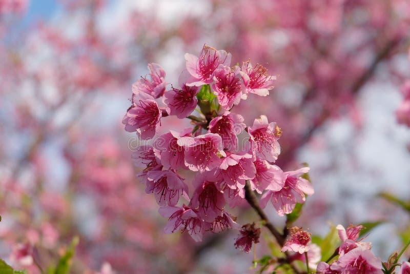Flor de cerezo hermosa Sakura en tiempo de primavera sobre el cielo azul fotografía de archivo