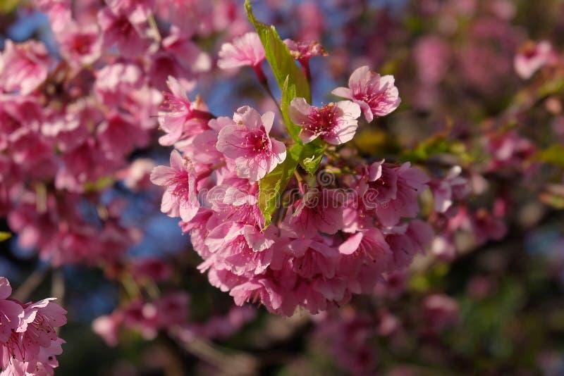 Flor de cerezo hermosa Sakura en tiempo de primavera sobre el cielo azul fotos de archivo