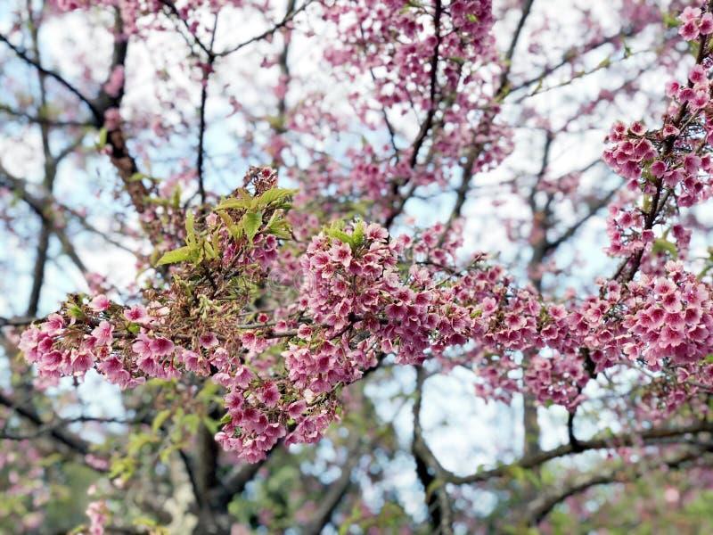 Flor de cerezo hermosa Sakura en tiempo de primavera sobre el cielo azul imagen de archivo libre de regalías
