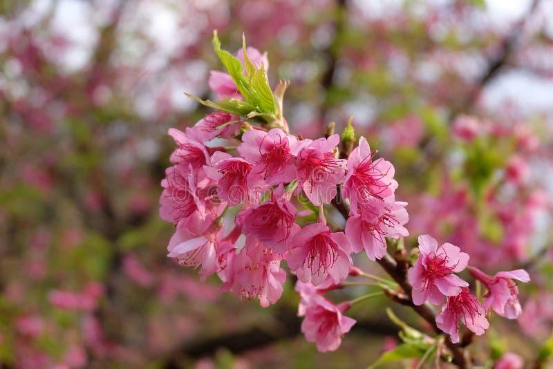 Flor de cerezo hermosa Sakura en tiempo de primavera sobre el cielo azul imagen de archivo