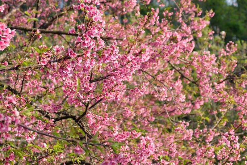 Flor de cerezo hermosa Sakura en tiempo de primavera sobre el cielo azul fotos de archivo libres de regalías