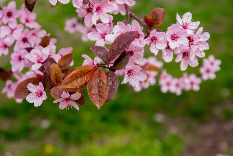 Flor de cerezo hermosa Sakura en tiempo de primavera sobre el cielo azul imágenes de archivo libres de regalías