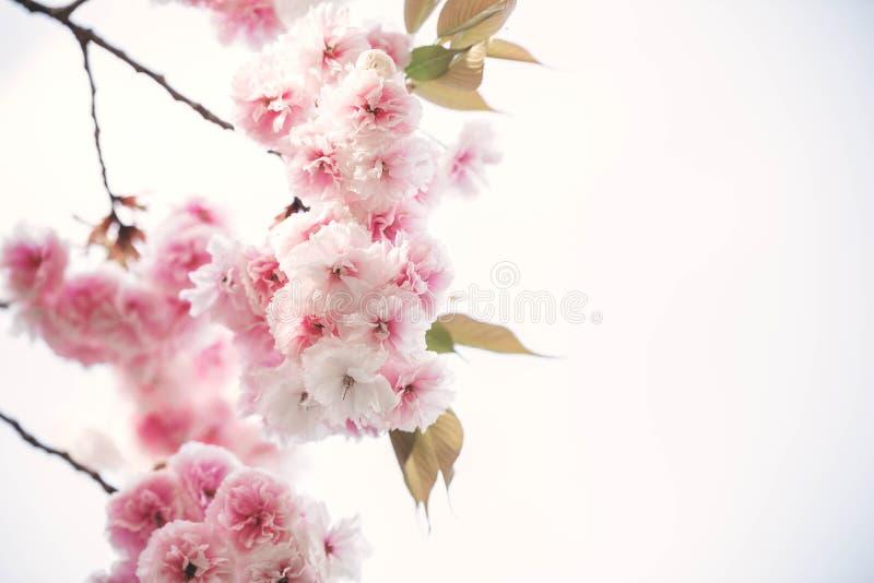 Flor de cerezo hermosa; Sakura en tiempo de primavera sobre el cielo azul adentro fotos de archivo libres de regalías