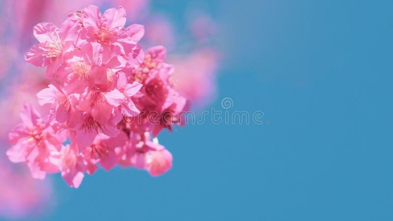 Flor de cerezo hermosa Sakura en tiempo de primavera sobre el cielo azul, flores de cerezo en fondo del cielo azul foto de archivo libre de regalías