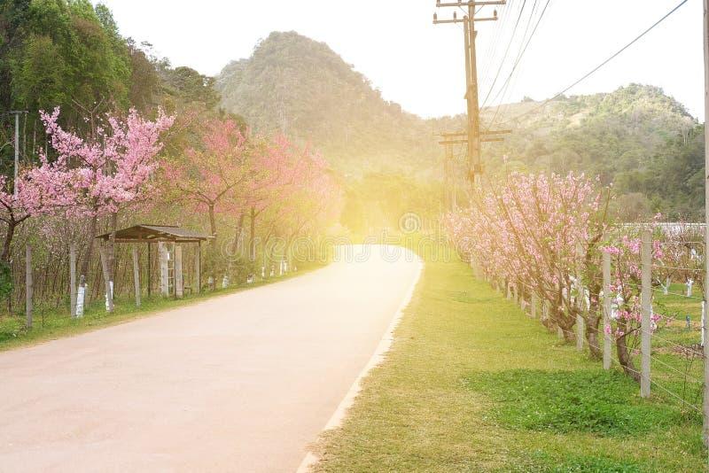 Flor de cerezo hermosa Sakura en tiempo de primavera sobre luz del sol imagenes de archivo