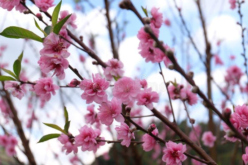 Flor de cerezo hermosa Sakura en tiempo de primavera sobre luz del sol foto de archivo libre de regalías