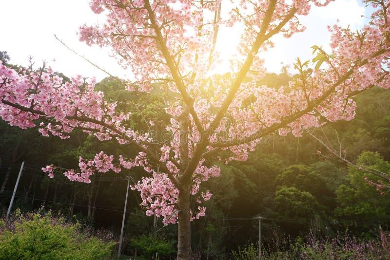 Flor de cerezo hermosa Sakura en tiempo de primavera sobre luz del sol imágenes de archivo libres de regalías