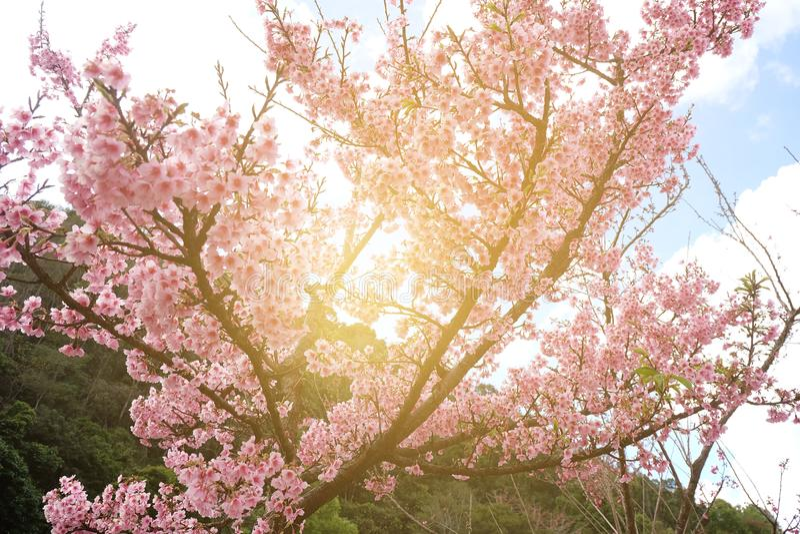 Flor de cerezo hermosa Sakura en tiempo de primavera sobre luz del sol fotografía de archivo libre de regalías